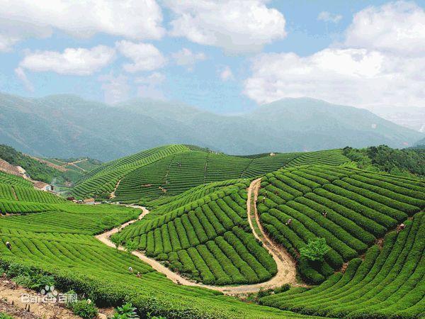 Jingshan Tea