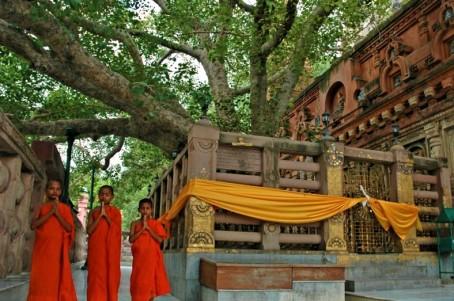 Higuera Bodhi
