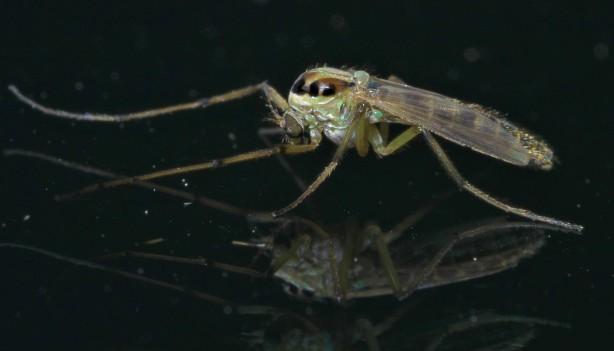 Goeldichironomus